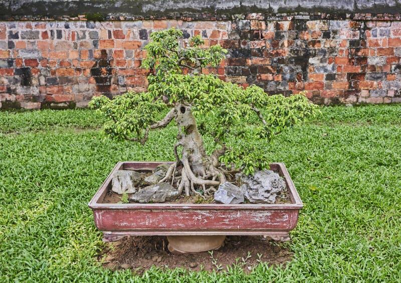 Árvore dos bonsais no potenciômetro em um jardim asiático foto de stock