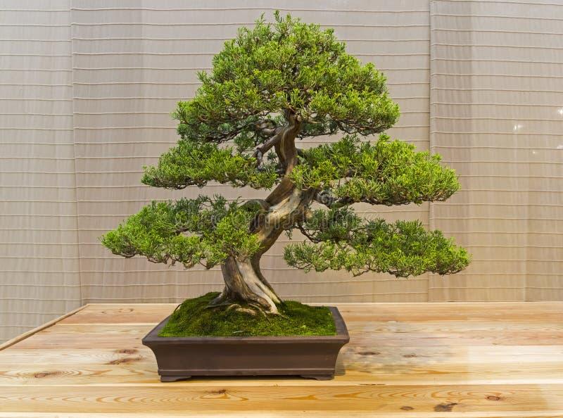 Árvore dos bonsais - zimbro chinês imagem de stock royalty free