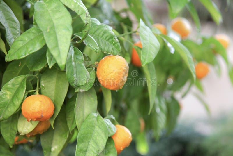 Árvore dos citrinos foto de stock