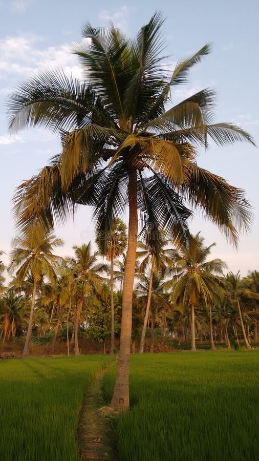 Árvore dos cocos fotografia de stock