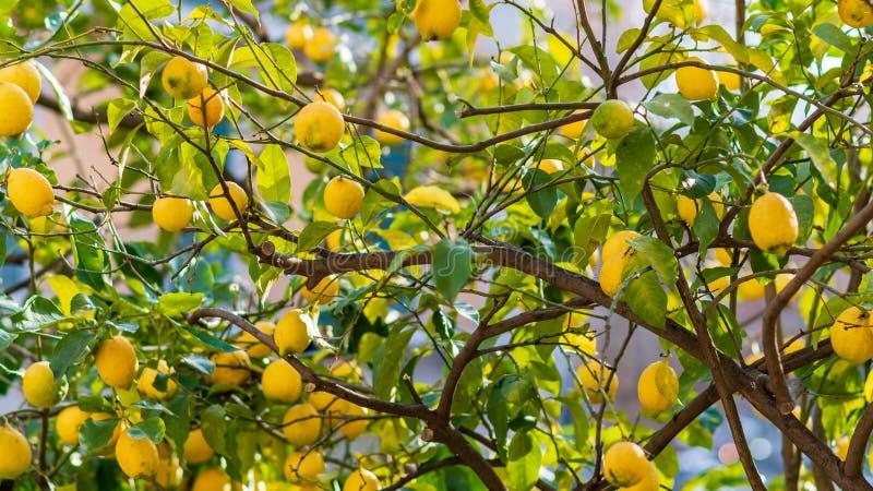 Árvore dos limões de sorrento prontos para ser escolhido e apreciado imagens de stock