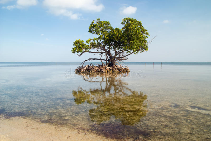 Árvore dos manguezais fotos de stock royalty free