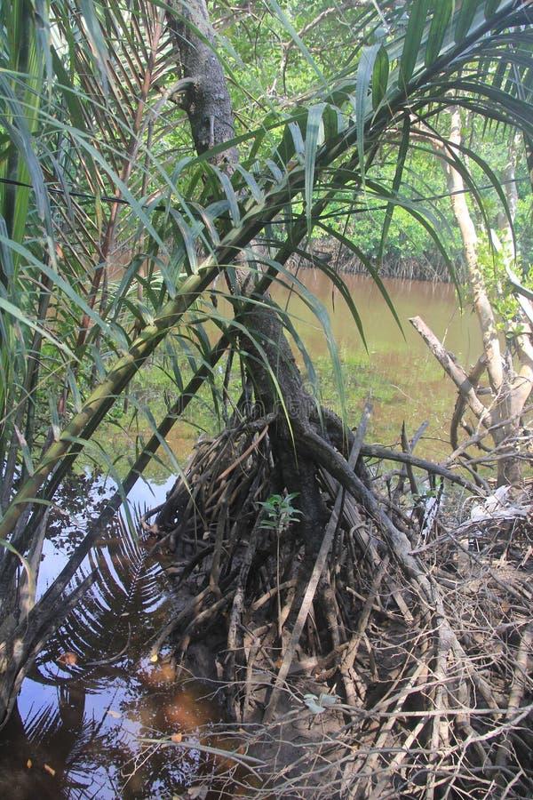Árvore dos manguezais fotos de stock