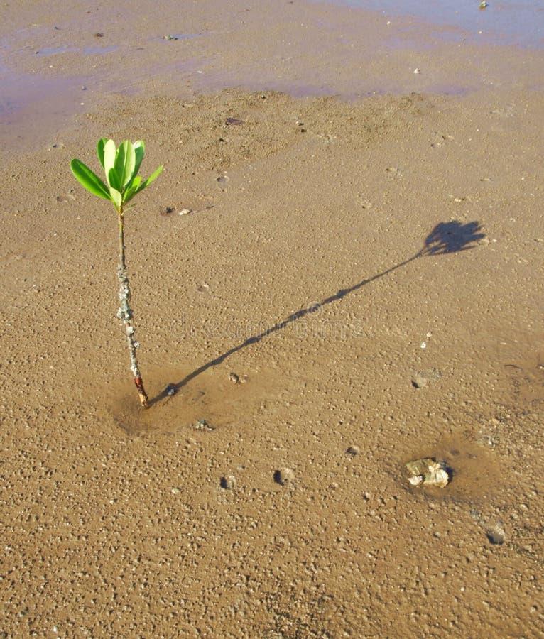 Árvore dos manguezais foto de stock