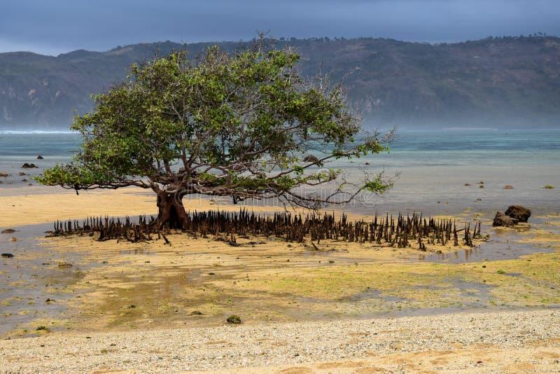 Árvore dos manguezais com raizes na praia de Segar em Lombok, Indonésia imagem de stock
