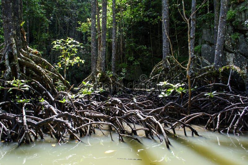 Árvore dos manguezais de Sabang Palawan Filipinas imagens de stock royalty free