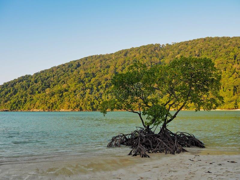 Árvore dos manguezais no mar e na montanha do fundo da praia fotos de stock royalty free