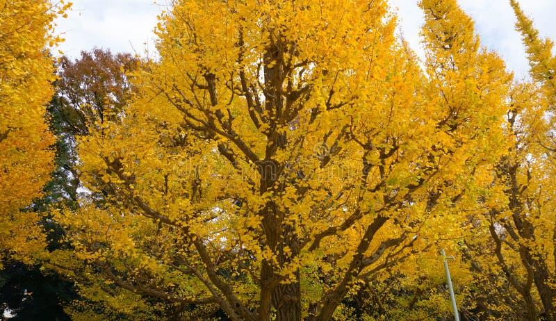 Árvore dourada da nogueira-do-Japão fotos de stock royalty free