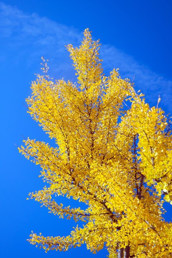 Árvore durante a queda imagem de stock