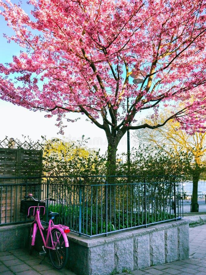 Árvore e bicicletas de florescência de cereja estacionadas na jarda da casa fotos de stock royalty free