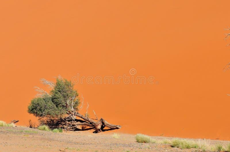A árvore e a duna ajardinam perto de Sossusvlei, Namíbia foto de stock royalty free