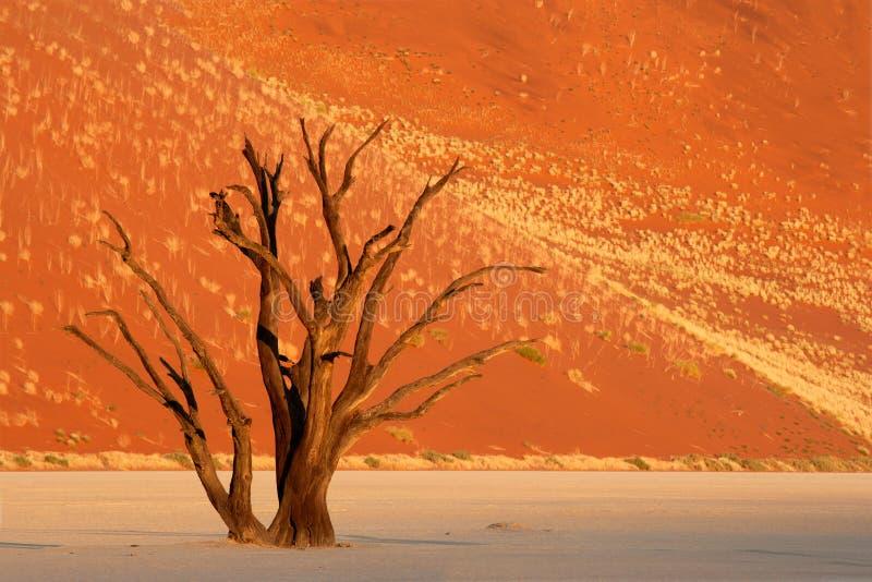Árvore e duna, Namíbia imagens de stock royalty free