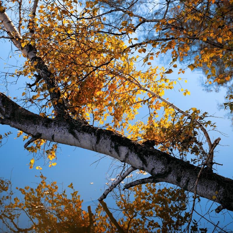 Árvore e filial de vidoeiro do outono no lago foto de stock