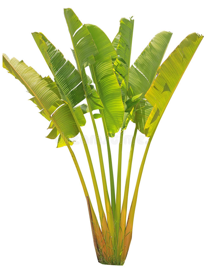 Árvore e folha de banana fotos de stock royalty free