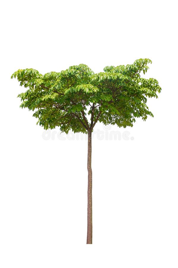 Árvore e folha de diabo bonitas no fundo branco, odollam de Cerbera fotografia de stock