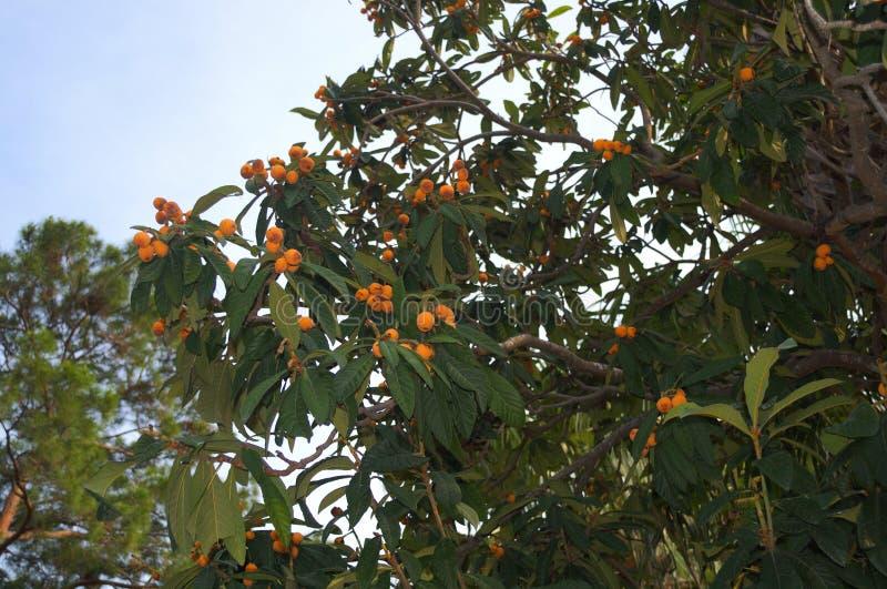 Árvore e fruto da ameixa turca fotografia de stock