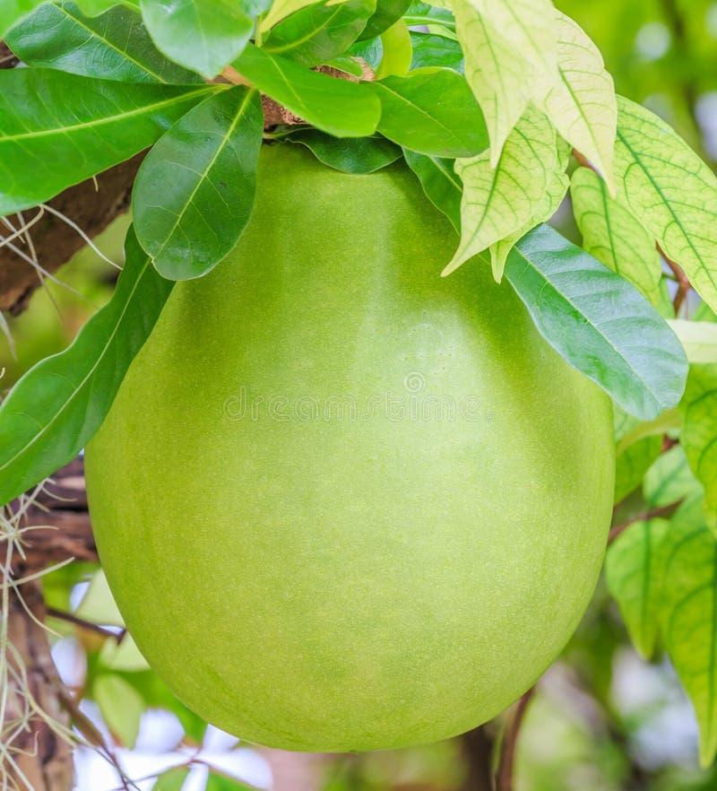 Árvore e fruto de cabaceiro fotografia de stock