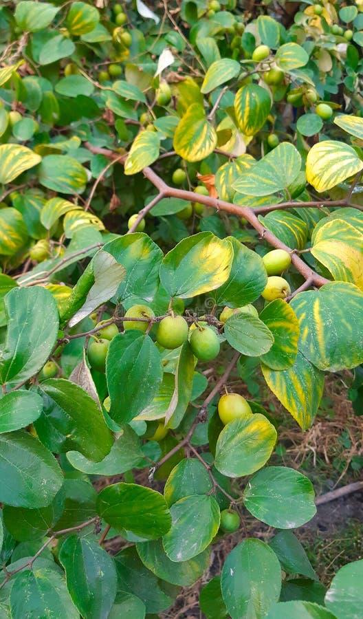 ?rvore e frutos verdes do jujuba - o jujuba do Ziziphus ou o jujuba geralmente chamado s?o o fruto berrylike comest?vel de uma pl fotografia de stock