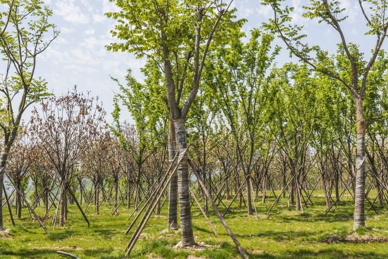 Árvore e gramado verdes imagem de stock royalty free