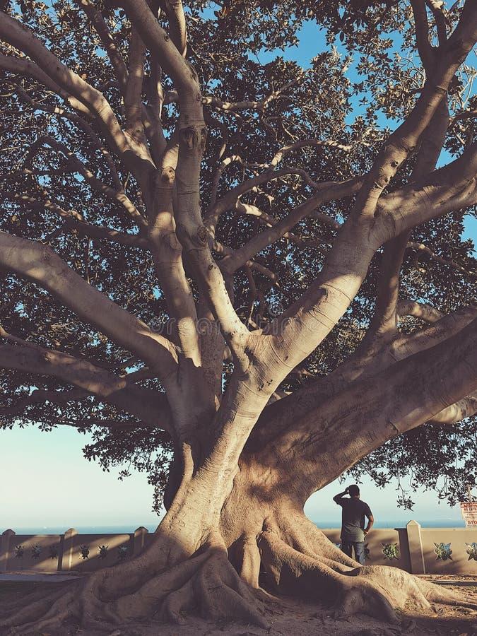Árvore e homem de figo imagens de stock