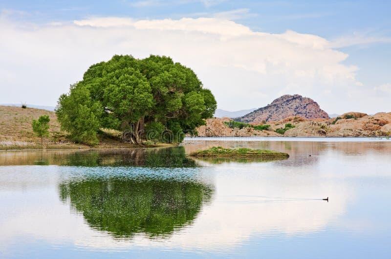 Árvore e lago do Cottonwood fotografia de stock royalty free