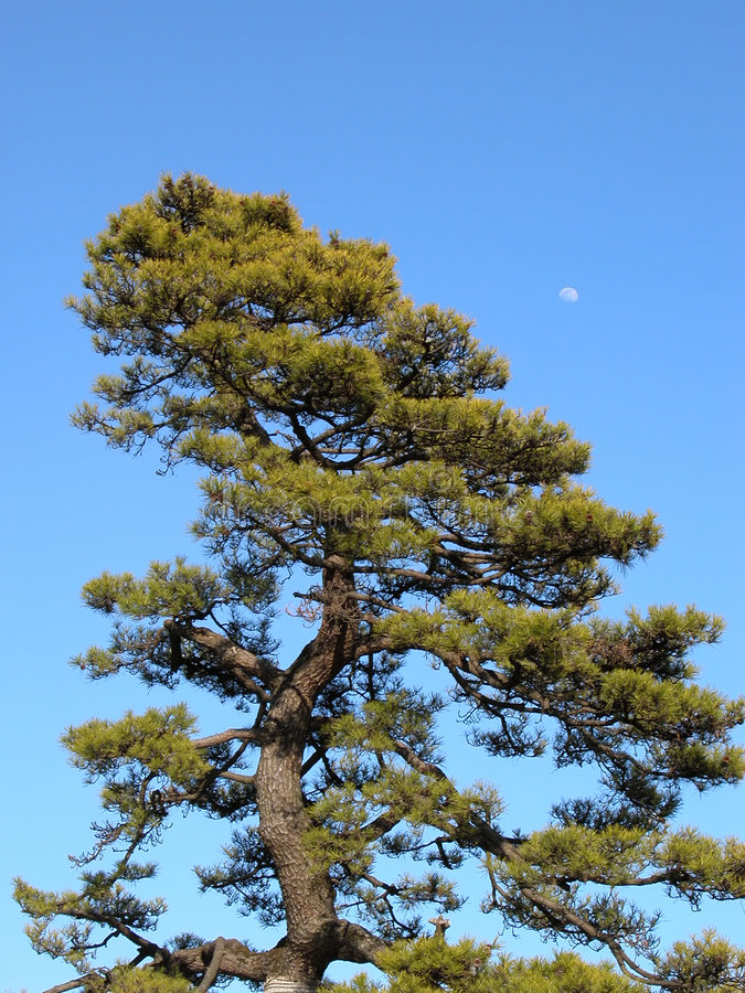 Árvore e lua fotos de stock