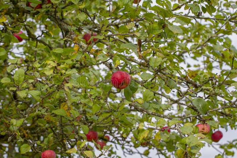Árvore e maçãs de Apple fotografia de stock