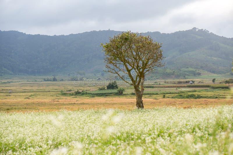 a árvore e a mostarda colocam com a flor branca em DonDuong - Dalat- Vietname fotos de stock royalty free