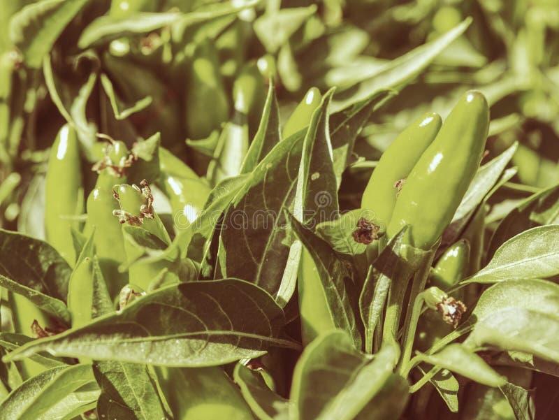 Árvore e pimenta de pimentão verde no jardim Frutas verdes frescas imagem de stock royalty free