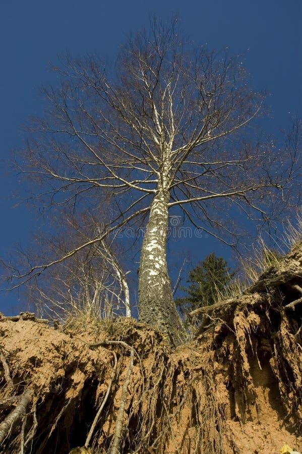 Árvore e raizes fotografia de stock royalty free