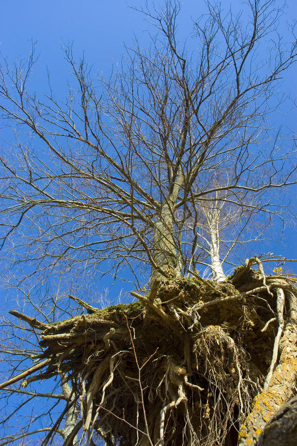 Árvore e raizes fotos de stock royalty free