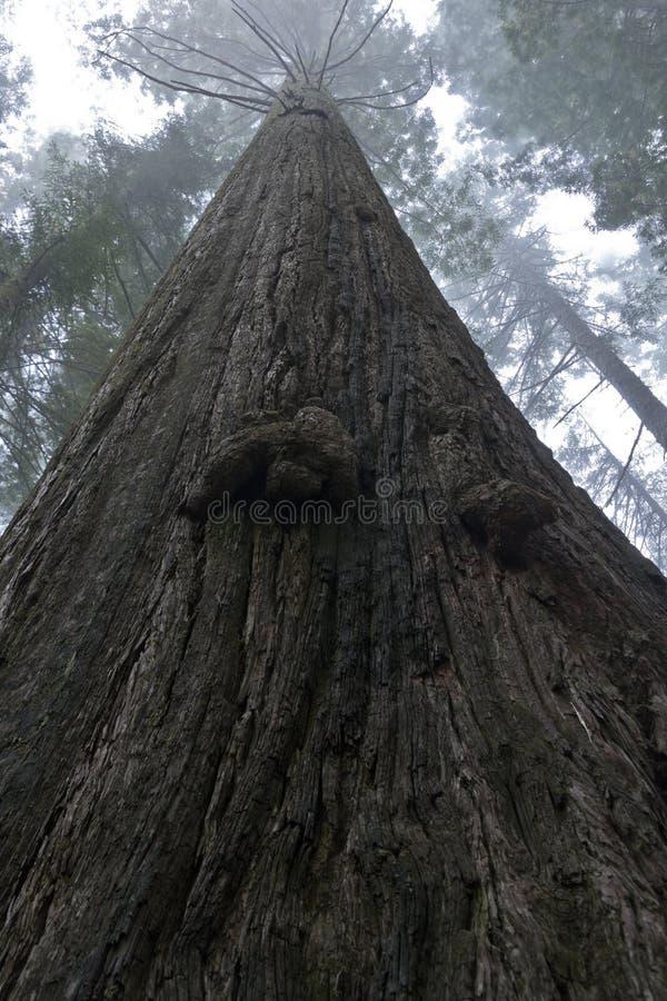 Árvore elevada do Redwood fotografia de stock