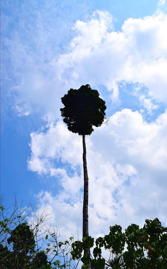 Árvore elevada enorme alta contra o céu e as nuvens brancas - Dipterocarpus Turbinatus - floresta sempre-verde gigante tropical d imagem de stock