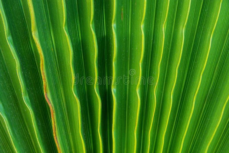 Árvore em folha de palmeira em acordeão Rippled como o fundo natural do teste padrão Cor verde vibrante Estilo na moda Férias tro imagem de stock royalty free