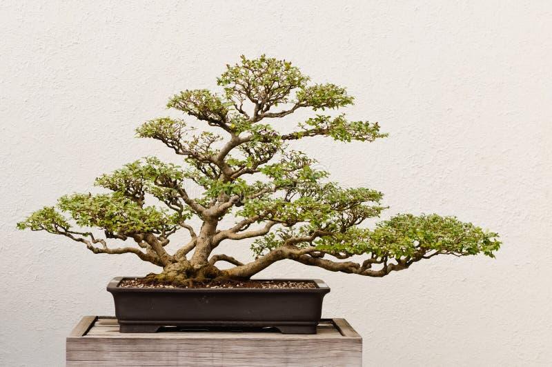 Árvore em pasta dos bonsais fotografia de stock royalty free