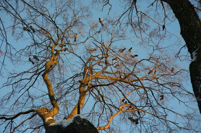 A árvore em que sente os corvos fotos de stock royalty free