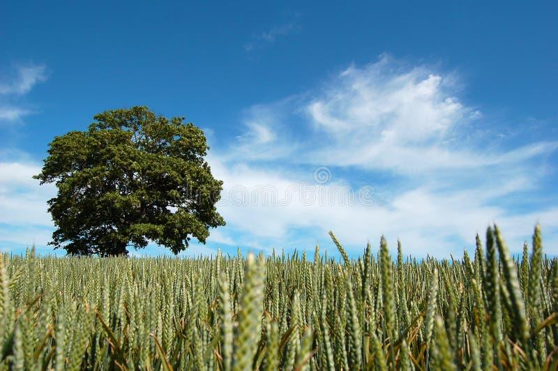 Árvore em um campo da colheita imagem de stock royalty free