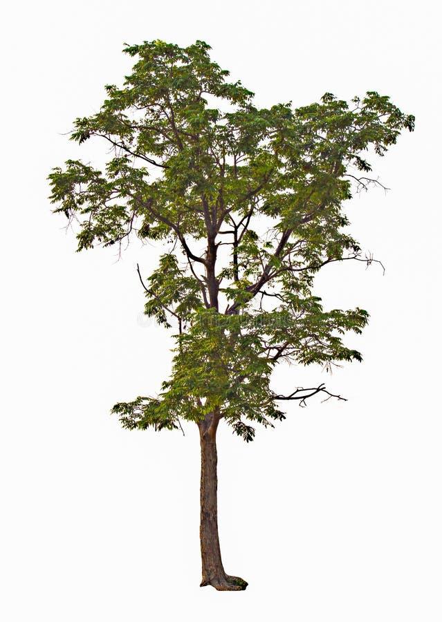 Árvore em um fundo branco imagens de stock royalty free