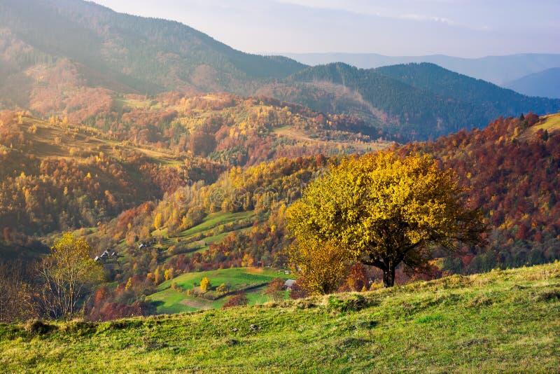 Árvore em um montanhês gramíneo em montanhas do outono fotos de stock royalty free