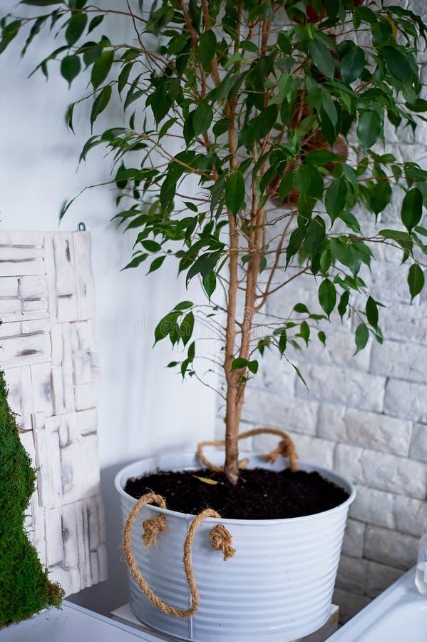 Árvore em um potenciômetro em casa no interior Plantas home imagens de stock