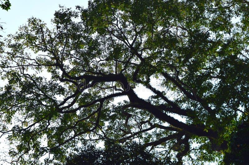 A árvore enorme com os ramos enchidos com verde sae - da tampa verde na floresta tropical para o ambiente fotos de stock
