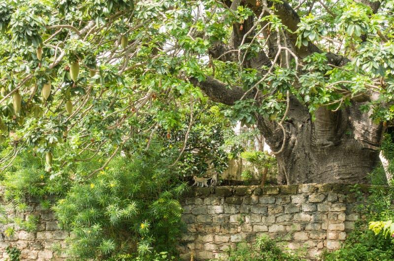 Árvore enorme do Baobab com a família do macaco de Vervet imagem de stock royalty free