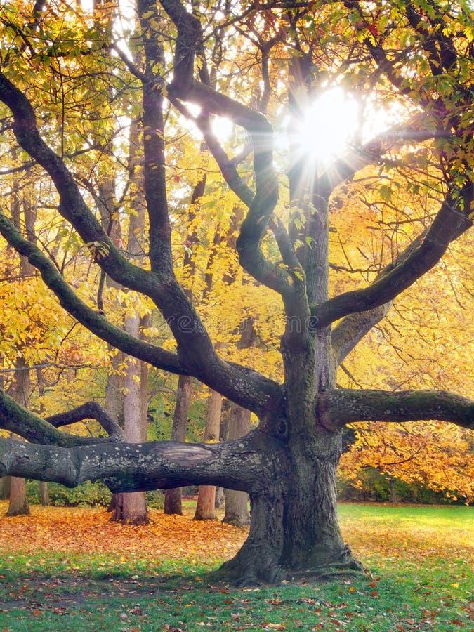 Árvore enorme e o sol no outono fotografia de stock