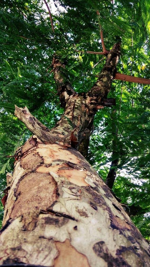 Árvore esverdeado imagem de stock