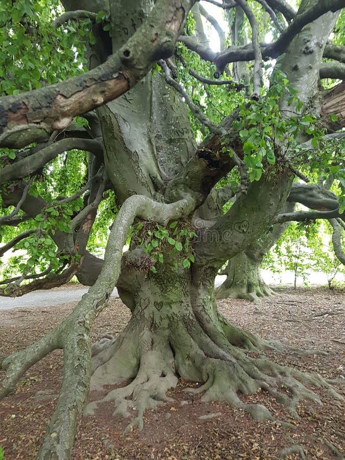 Árvore extremamente bonita perto do lago de Thun foto de stock royalty free