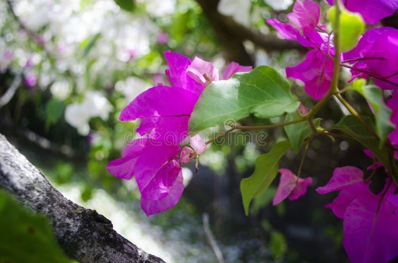 Árvore fúcsia da flor fotografia de stock royalty free