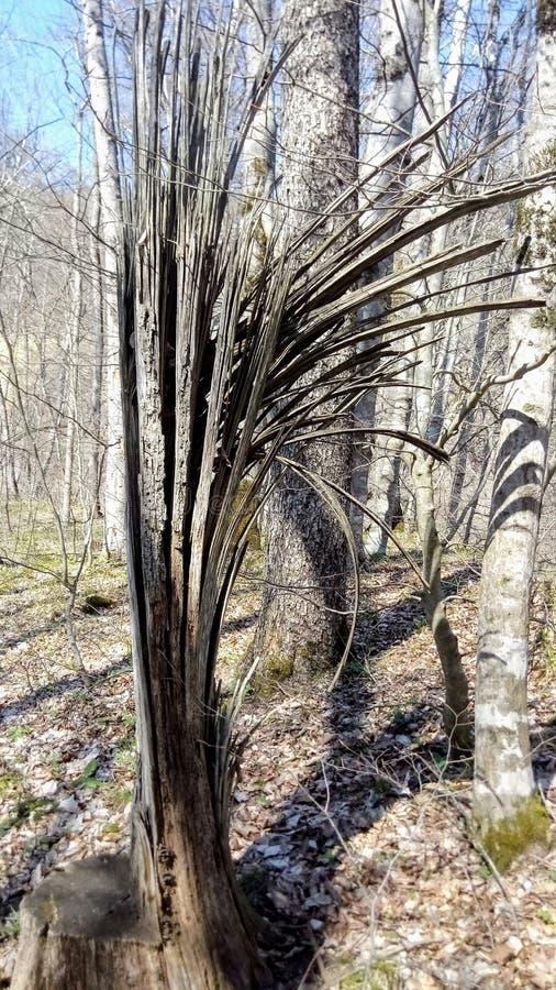 A árvore floresceu no dos montes do Cáucaso foto de stock royalty free