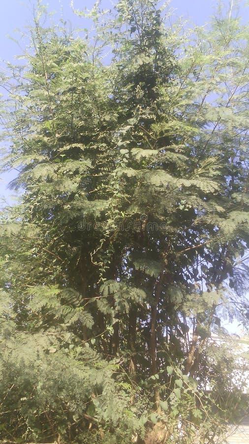 Árvore frondosa verde de gujarat sul india imagens de stock