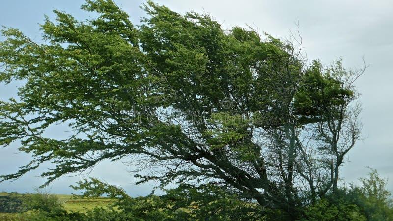Árvore fundida vento na ilha grande foto de stock