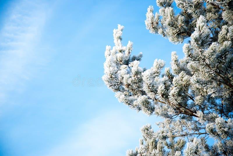 Árvore geada no dia gelado contra o céu azul fotografia de stock